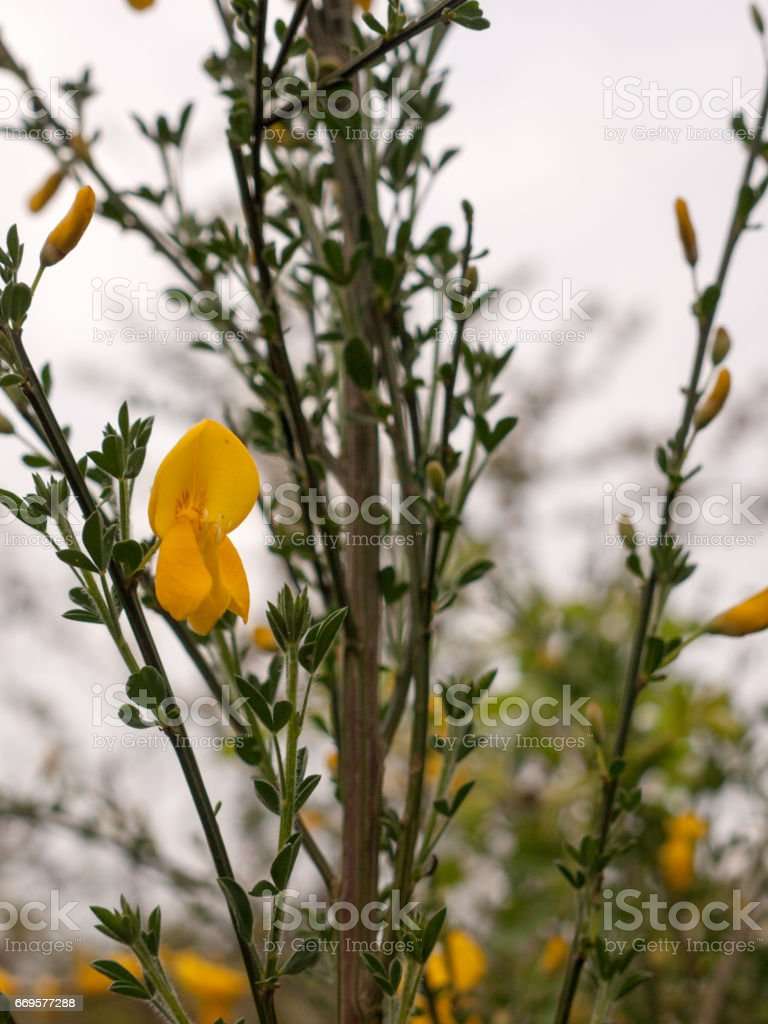 Yellow flowers of common gorse or Ulex europaeus known as whin stock photo