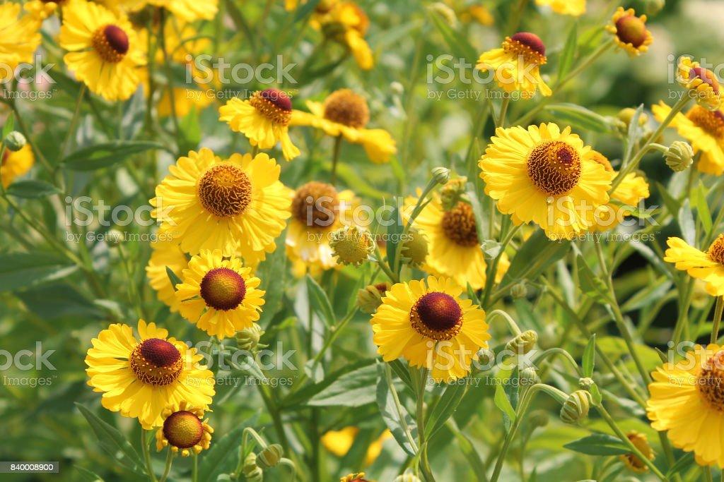 Yellow Flowers Of Common Sneezeweed In Garden Stock Photo More