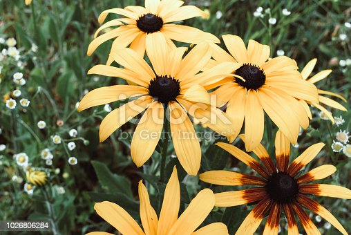 Yellow flowers of cone flower rudbeckia in a garden.