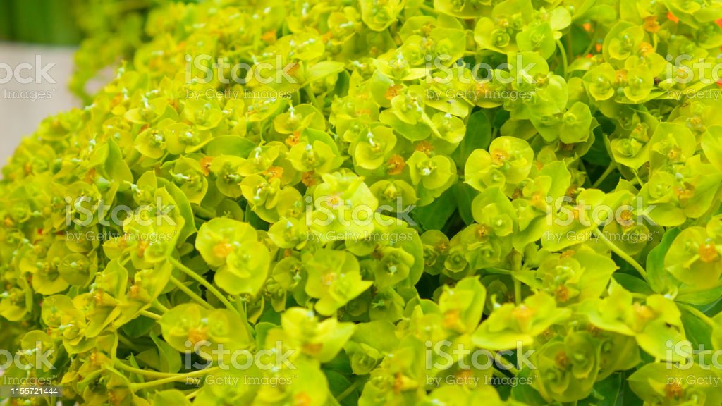 Yellow Flowers Of Cypress Spurge Euphorbia Cyparissias Stock Photo
