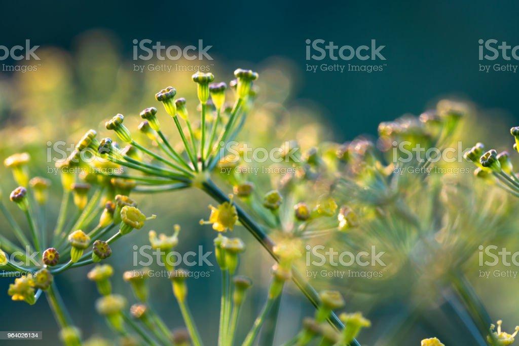 ディル (イノンド) 庭の成長の黄色の花 - カラフルのロイヤリティフリーストックフォト