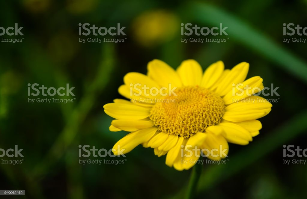 Yellow flowers of dyers camomile on dark background stock photo yellow flowers of dyers camomile on dark background royalty free stock photo mightylinksfo