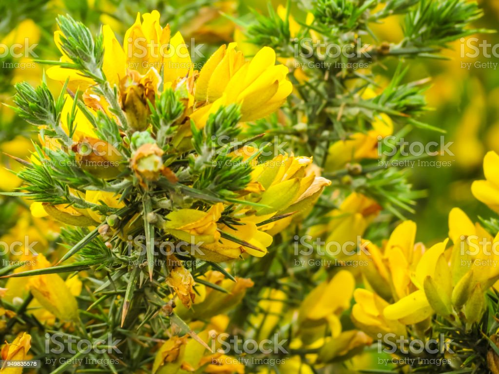 Yellow Flowers Of Genistas Stock Photo More Pictures Of Blossom
