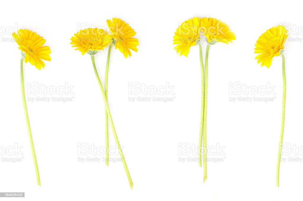 yellow flowers of gerbera royalty-free stock photo