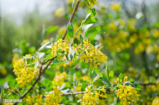 istock Yellow flowers of Golden Buffalo Currant Ribes Aureum background 1210815069