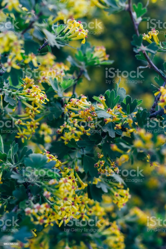 Yellow Flowers Of Gooseberry The Gooseberry Bush In The Spring On