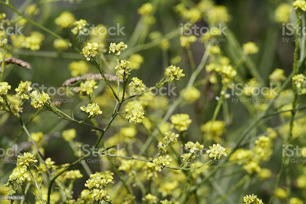 Yellow flowers of hedge mustard Sisymbrium officinale stock photo