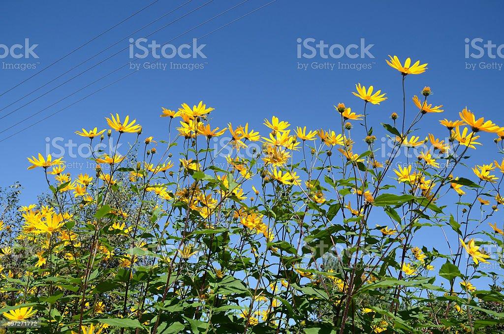 Yellow flowers of Jerusalem artichoke against blue sky royalty-free stock photo