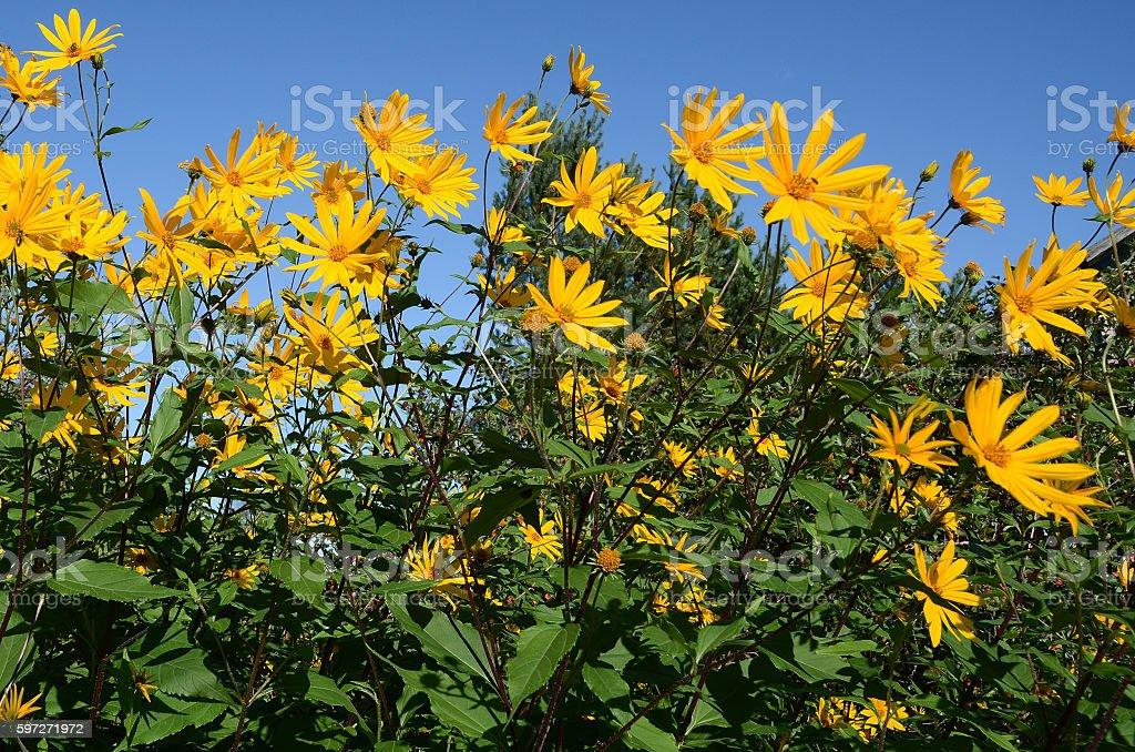 Yellow flowers of Jerusalem artichoke against blue sky Lizenzfreies stock-foto
