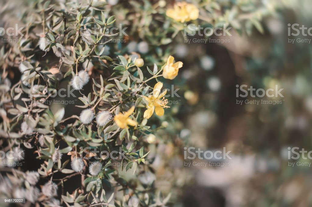 Yellow flowers of Larrea tridentata also known as creosote bush. Background with exotic yellow flowers on desert shrub stock photo
