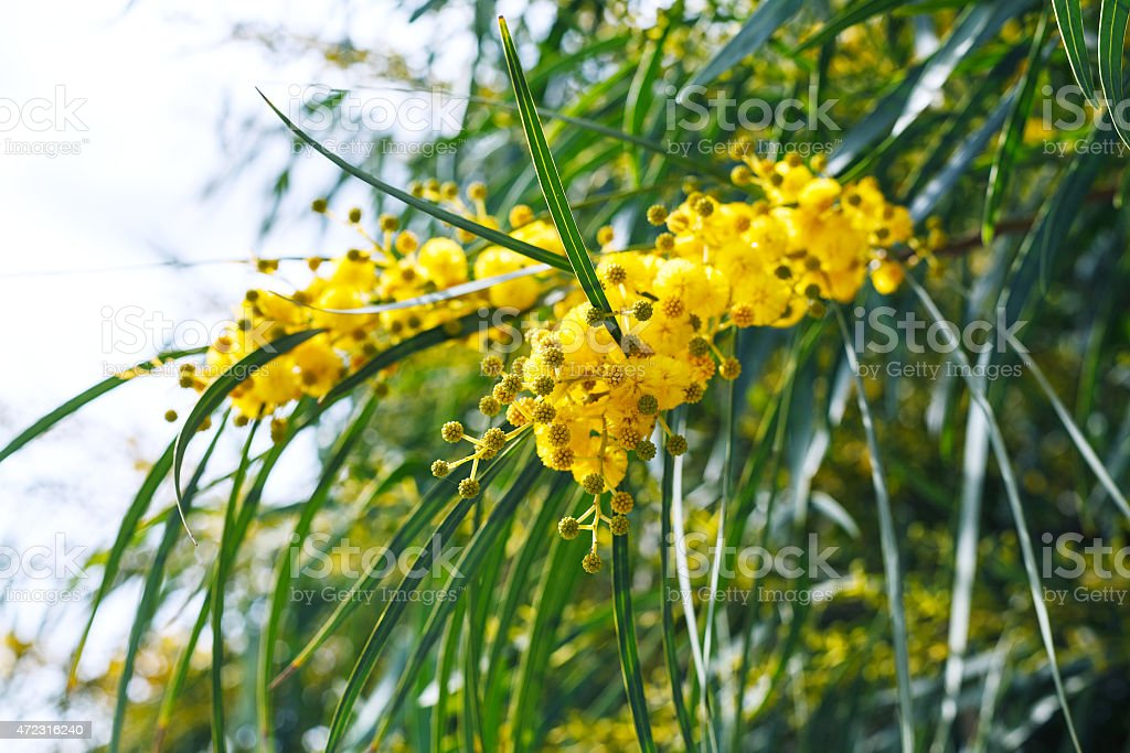Fiori Gialli Sicilia.Yellow Flowers Of Mimosa Tree Close Up Stock Photo Download
