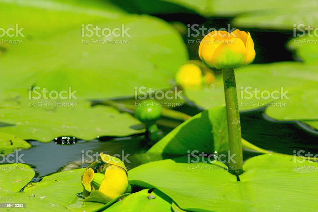 yellow flowers of Nuphar lutea stock photo
