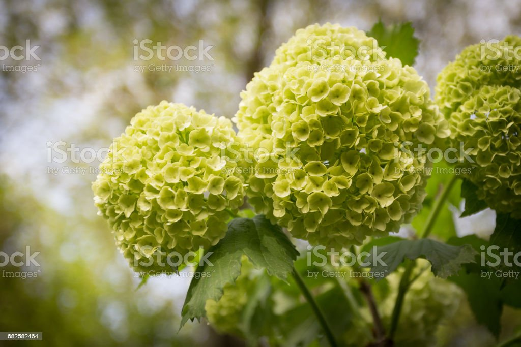 Yellow flowers of Viburnum stock photo