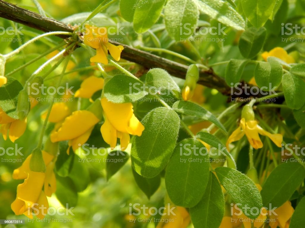 Yellow Flowers On A Branch Of Acacia Bush Closeup Stock Photo More