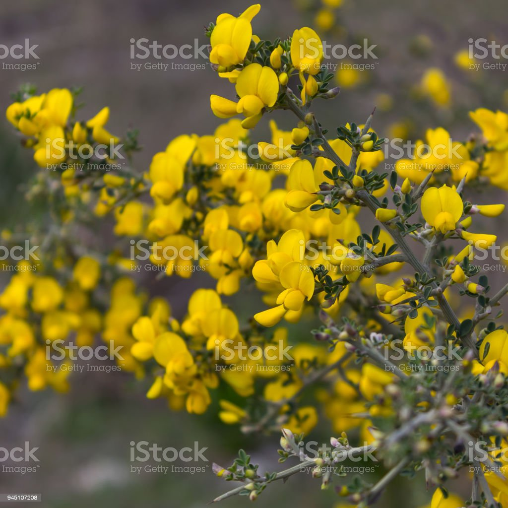 Yellow flowers on a Bush with thorns. Selective focus. stock photo