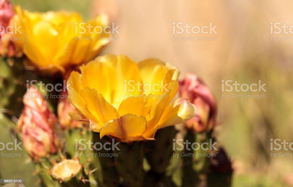 Yellow flowers on a coast barrel cactus, Ferocactus viridescens foto stock royalty-free