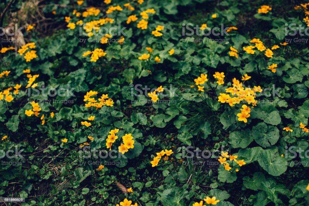 Yellow flowers on a dark green blurred background stock photo more yellow flowers on a dark green blurred background royalty free stock photo mightylinksfo