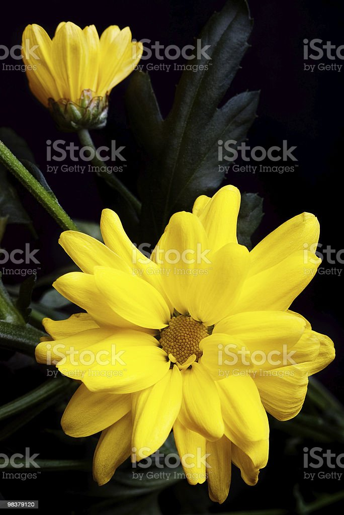 yellow flowers on black royalty-free stock photo
