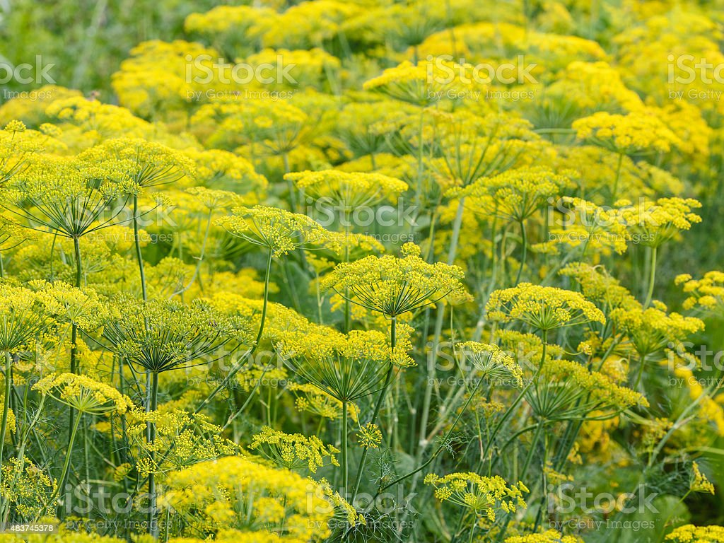 yellow flowers on flowering dill herb stock photo