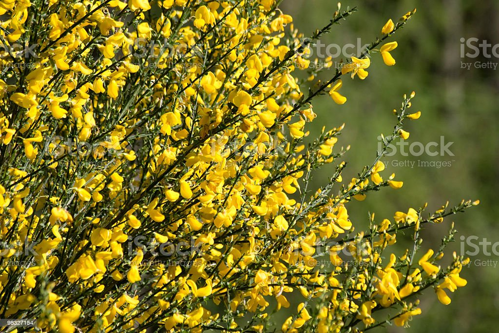 Yellow flowers on gorse bush royalty-free stock photo
