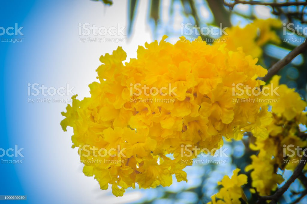 Yellow Flowers On Silver Trumpet Tree With Blue Sky Background And