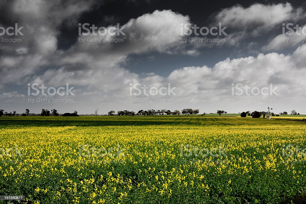Yellow flowers on the Australian outback stock photo