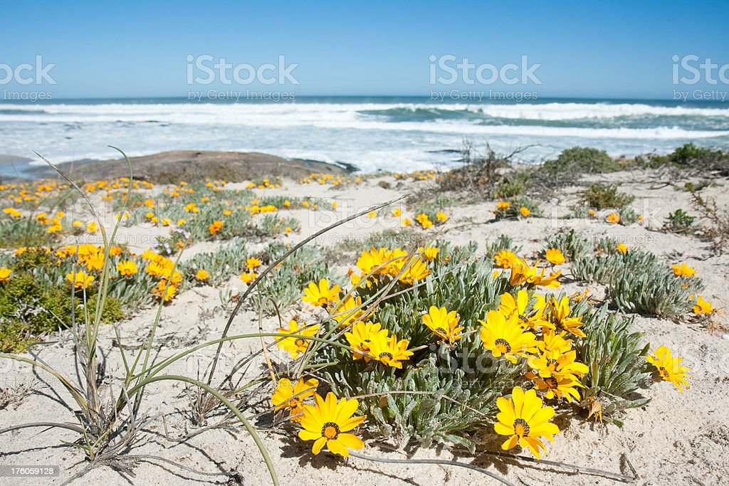 yellow flowers on the beach royalty-free stock photo