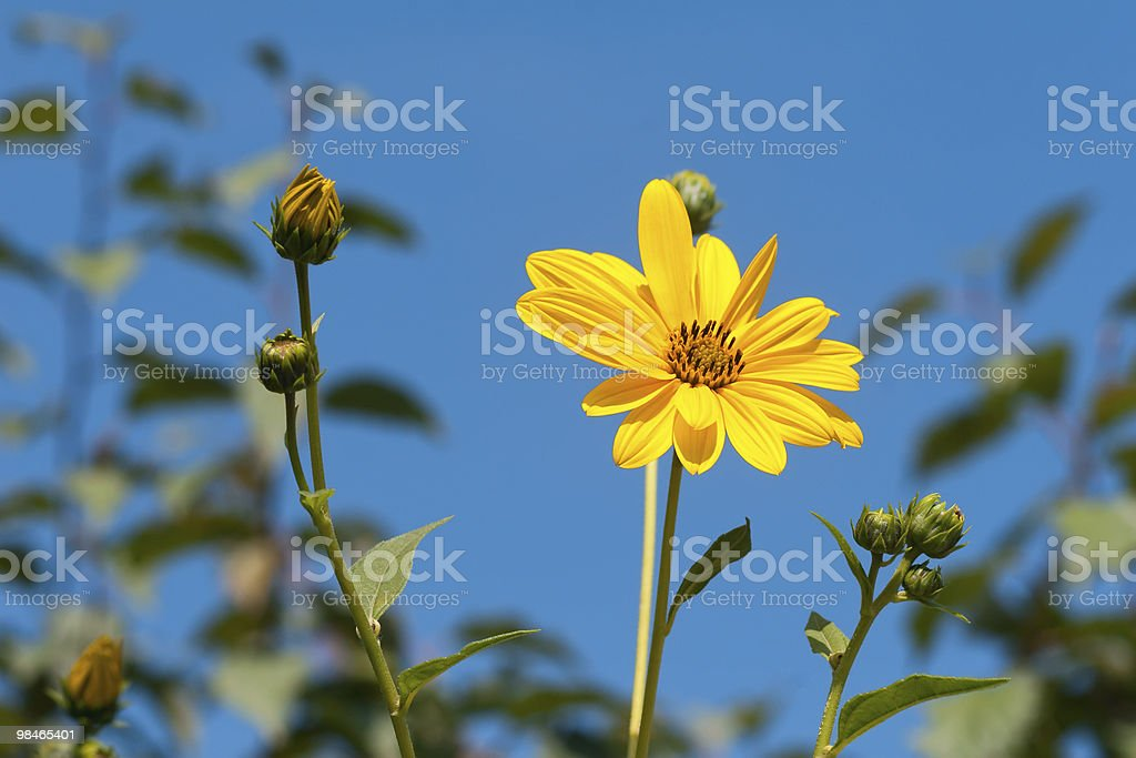 Yellow flowers over the blue sky royalty-free stock photo