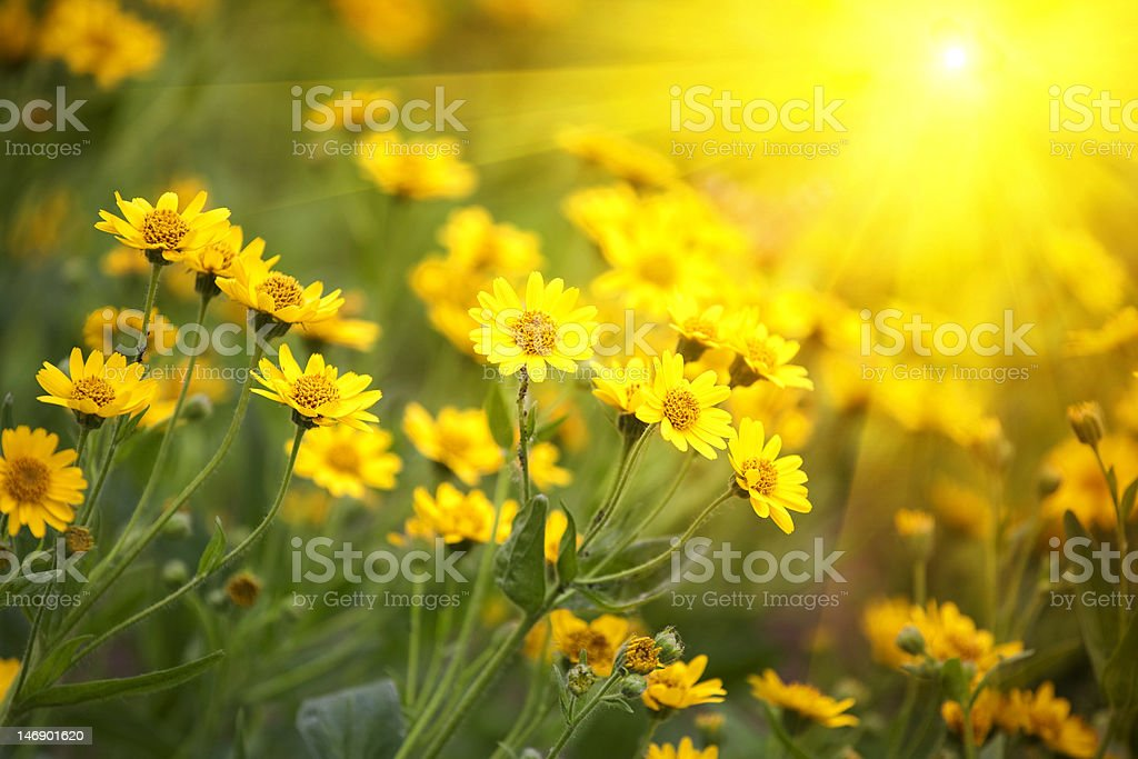 yellow flowers and morning dew