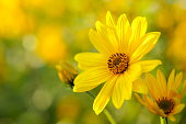 Soft focus image of yellow flowers in the meadow.