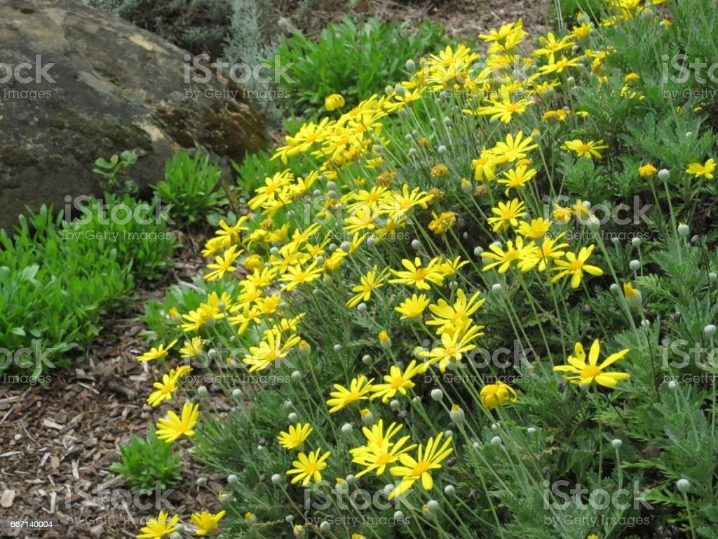 Yellow Flowers Stock Photo More Pictures Of California Istock