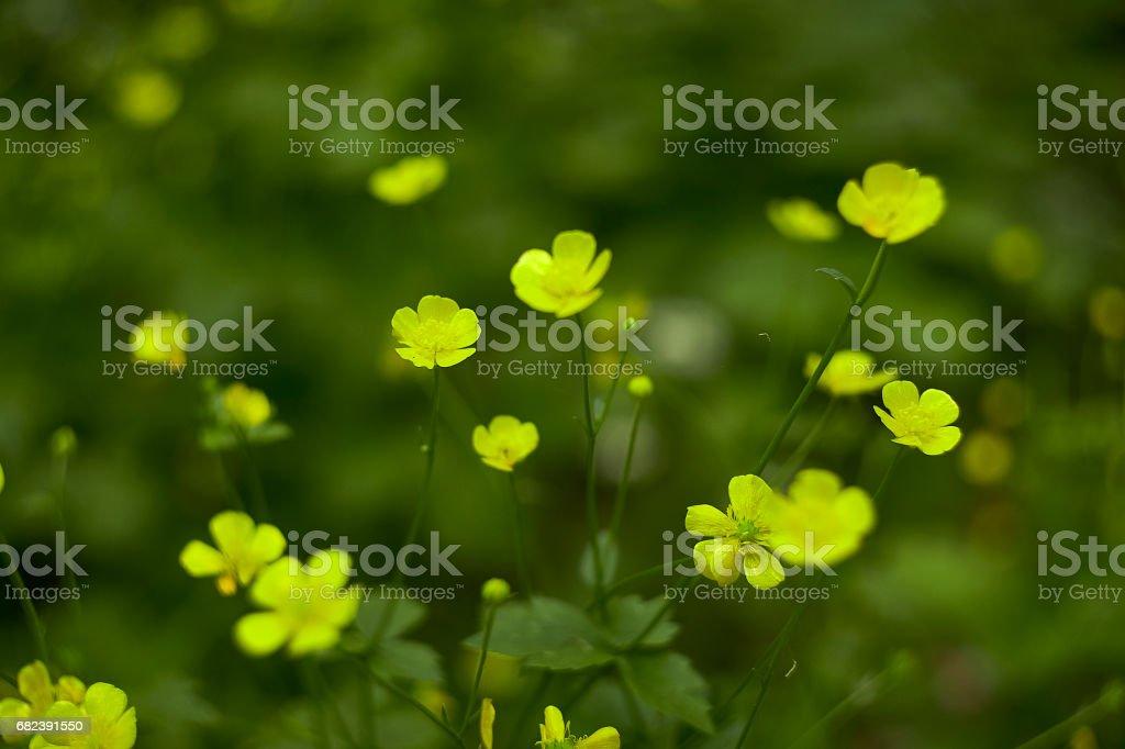 yellow flowers foto de stock libre de derechos