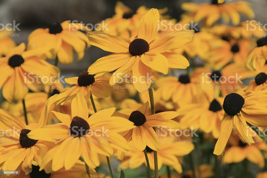 Yellow Flowers royalty-free stock photo