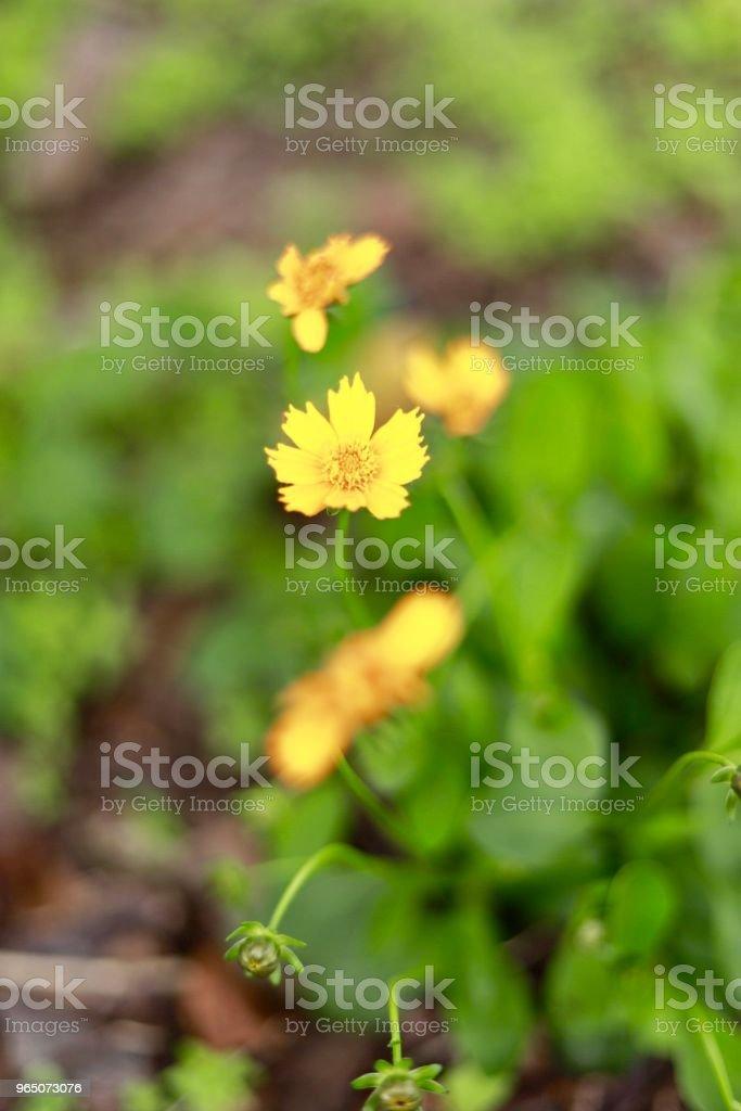 Yellow flowers zbiór zdjęć royalty-free