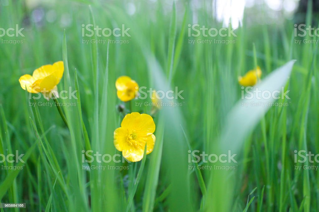 Yellow flowers - Royalty-free Agricultural Field Stock Photo