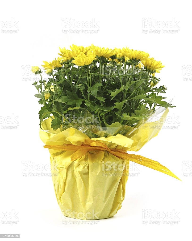 Yellow Flowers Pot Stock Photo More Pictures Of Arrangement Istock