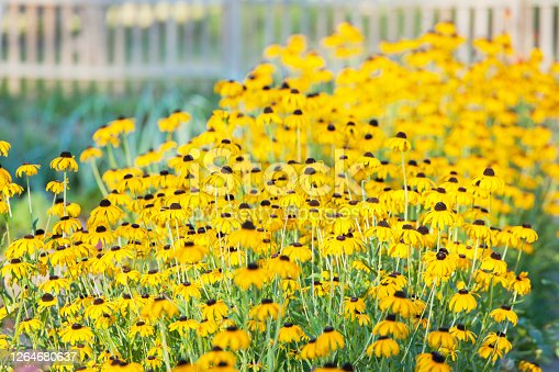 Yellow flowers, rudbeckia, in a flowerbed with blurred fence in the background - selective focus