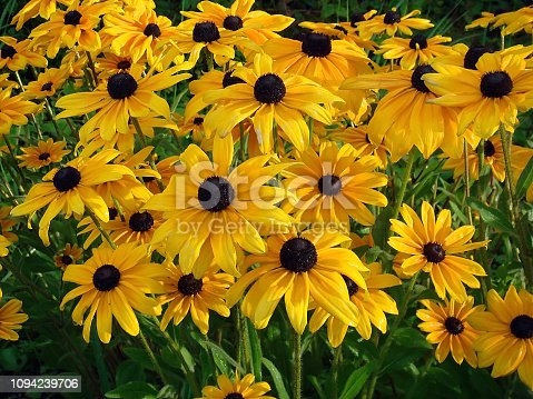 also know as Black Eyed Susan or Coneflower