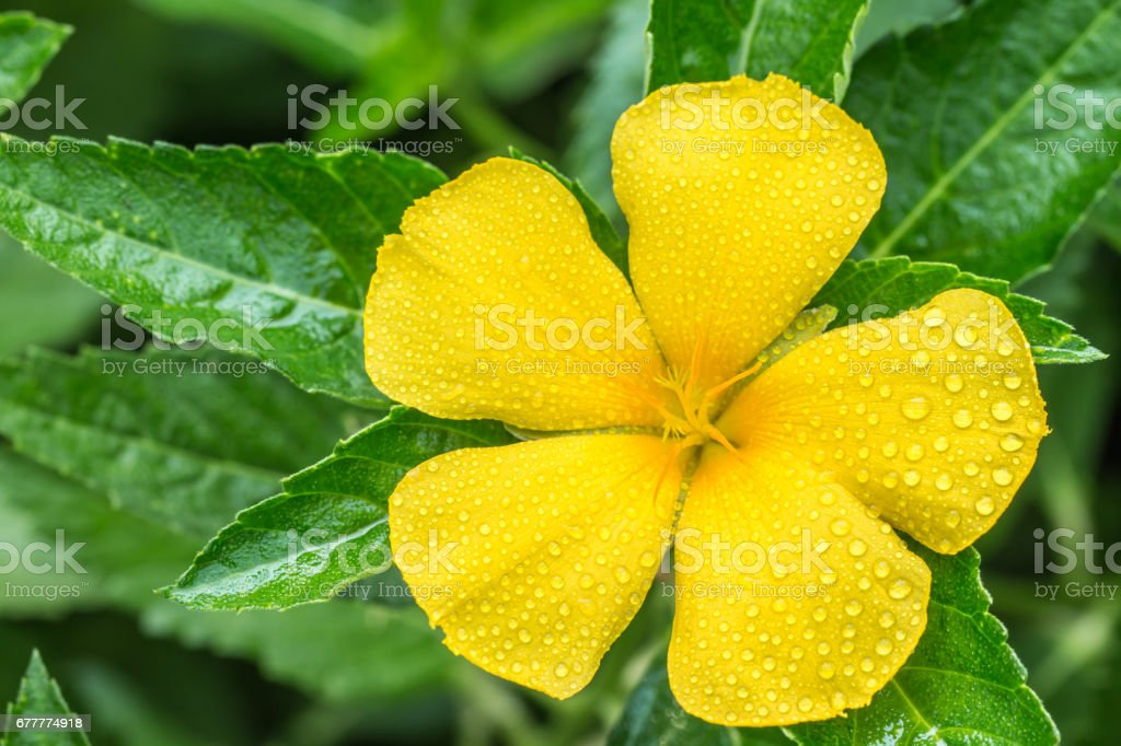 Yellow flowers sage rose west indian holly stock photo more yellow flowers sage rose west indian holly royalty free stock photo mightylinksfo