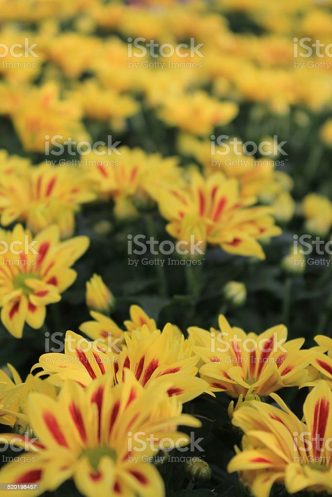 Fiori Gialli Yellow Flowers.Fiori Gialli Striati Di Rosso Stock Photo Download Image Now