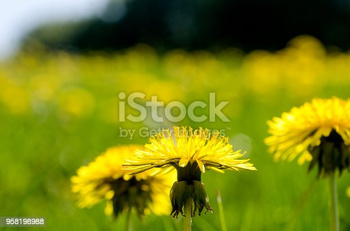 Yellow flowers under blue Scandinavian sky