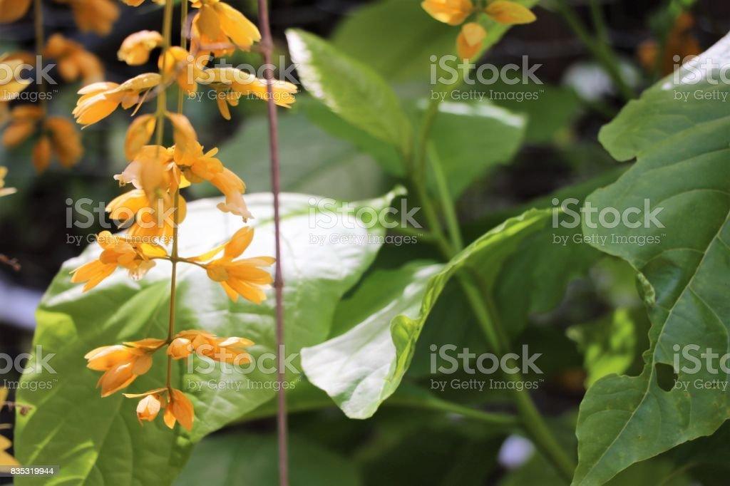 Yellow Flowers Verbenaceae Vine Beautiful In Nature Background Stock