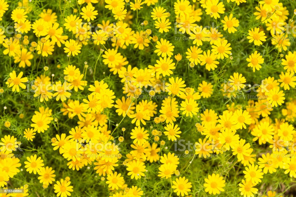yellow flowers with green leaves flooryellow flower background stock photo download image now istock yellow flowers with green leaves flooryellow flower background stock photo download image now istock