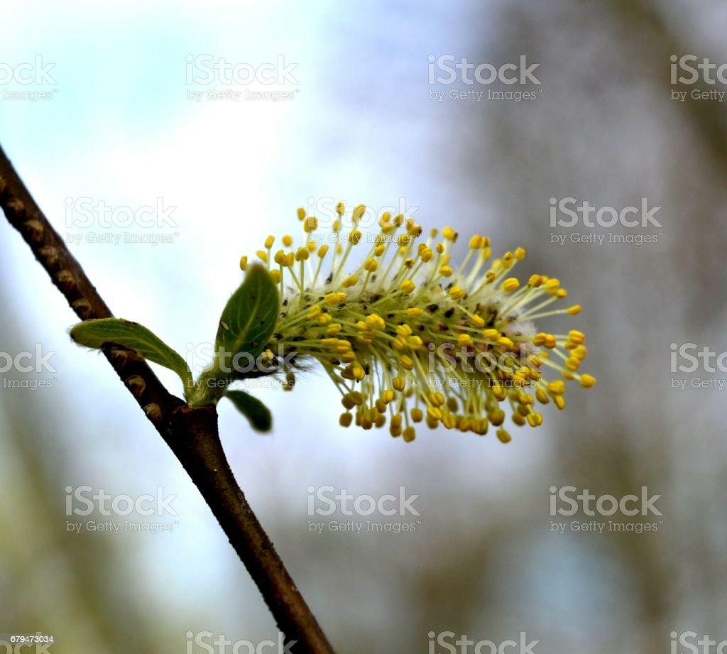 早春的黃色蓬鬆柳樹耳環 免版稅 stock photo