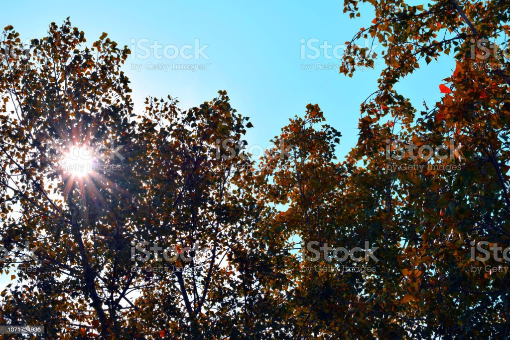 Yellow foliage of trees in the sun. Indian summer. Golden leaves on...