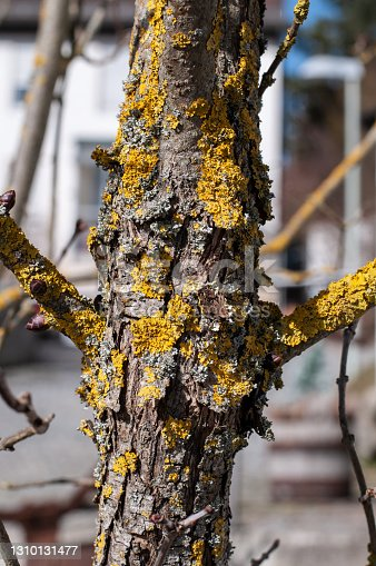close-up of yellow lichens at the bark of a lilac shrub