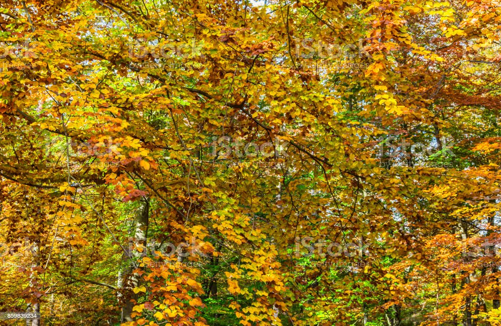 Yellow Forest in Autumn stock photo