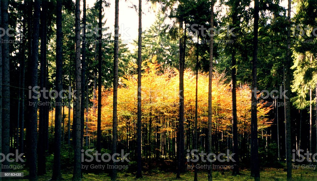 yellow forest royalty-free stock photo
