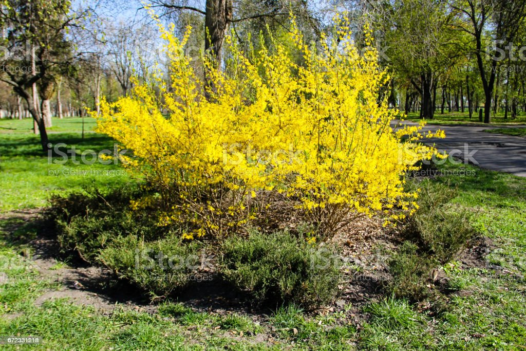Yellow forsythia bush in a park stock photo