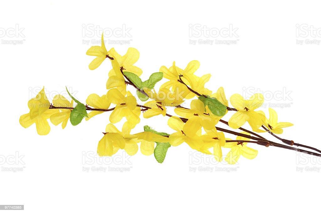 Yellow forsythia flowers on white background stock photo